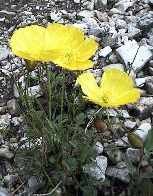 Fiori Alpini Gialli.Flora Pflanzenwelt Papavero Alpino Retico
